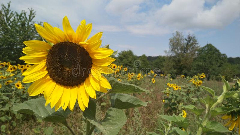 Sunflower. royalty free stock images