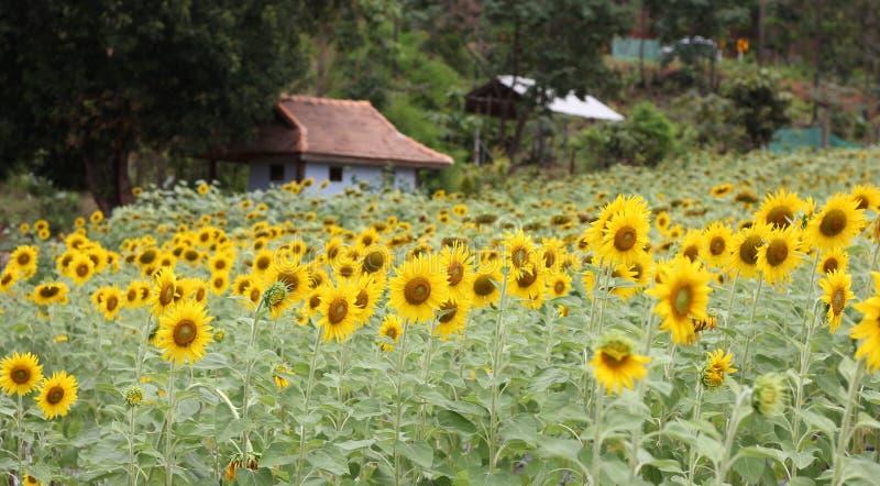 Sunflower. Sun flowers nature background walpaper stock image