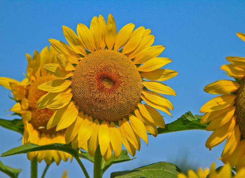 Sunflower in the Sun. On a Spring day royalty free stock photo