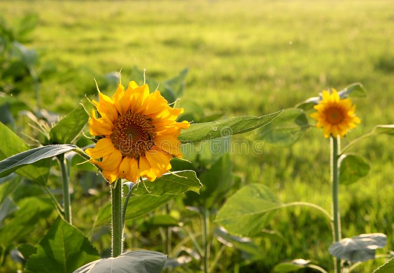 Sunflower in the sun royalty free stock photography