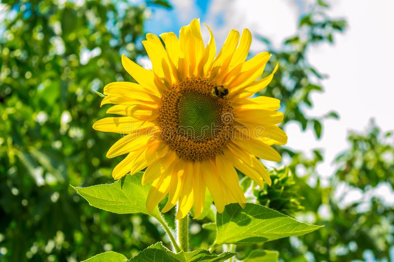 Sunflower. In the field on a background of nature, season, bright, blooming, landscape, sky, beauty, flora, sunny, closeup, garden, rural, floral, growth royalty free stock photo
