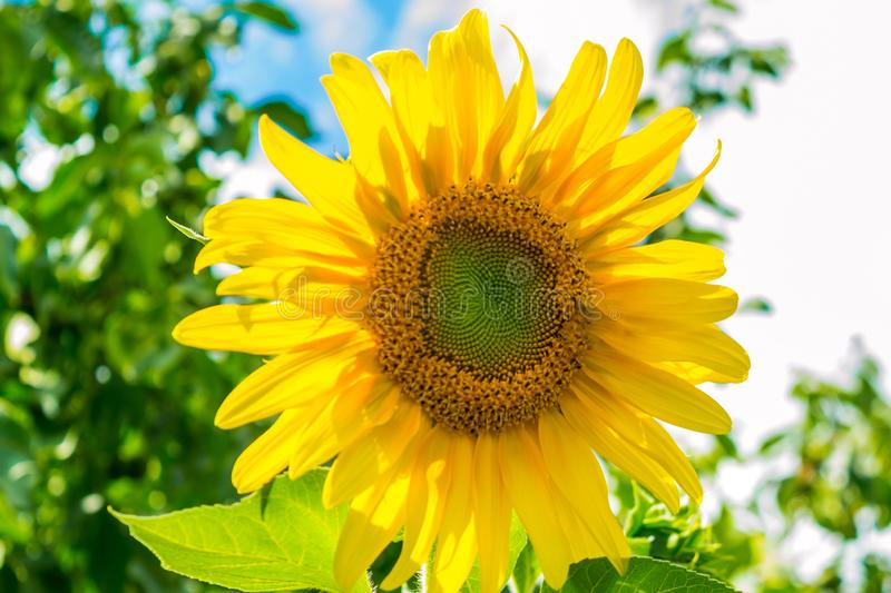Sunflower. In the field on a background of nature, season, bright, blooming, landscape, sky, beauty, flora, sunny, closeup, garden, rural, floral, growth royalty free stock images