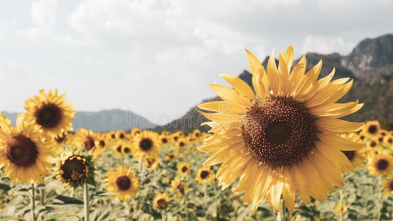 Sunflower in sunflower field with the mountain background. Vintage tone. Yellow, blooming, stamen, blossom, botany, farm, agriculture, beautiful, bright, sunny stock images