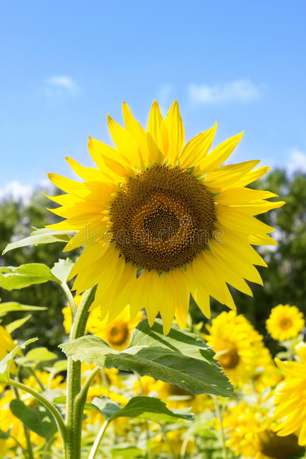 Free Sunflower. Sunflower Flowering. Sunflower Oil For Skin Health And Cell Regeneration. Royalty Free Stock Photos - 97237828