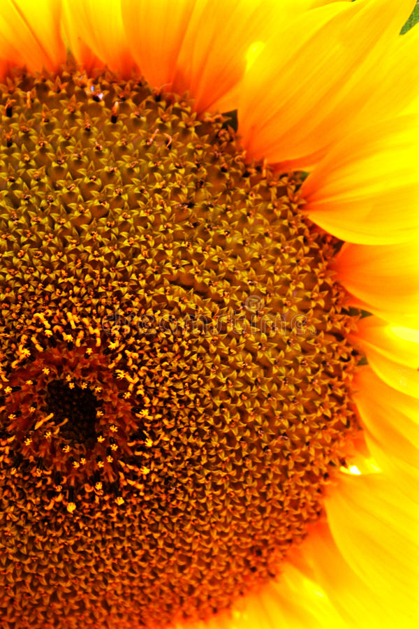 Sunflower. S are a popular plant for children to grow in the garden. They are also grown commercially for their seeds and oil. The smaller variety are sold as royalty free stock photo