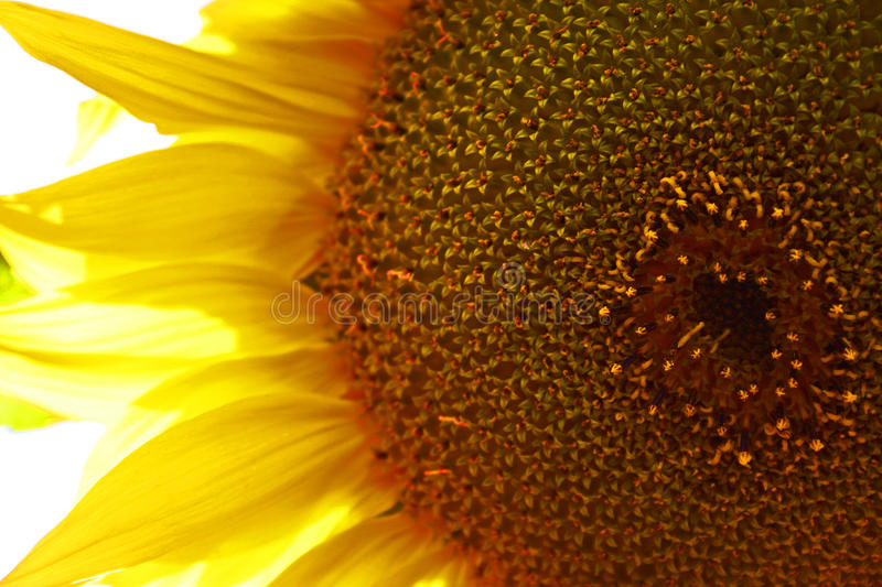 Sunflower. S are a popular plant for children to grow in the garden. They are also grown commercially for their seeds and oil. The smaller variety are sold as stock images