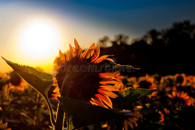 Download Sunflower and Sunrise stock image. Image of idyll, landscapes - 20135303