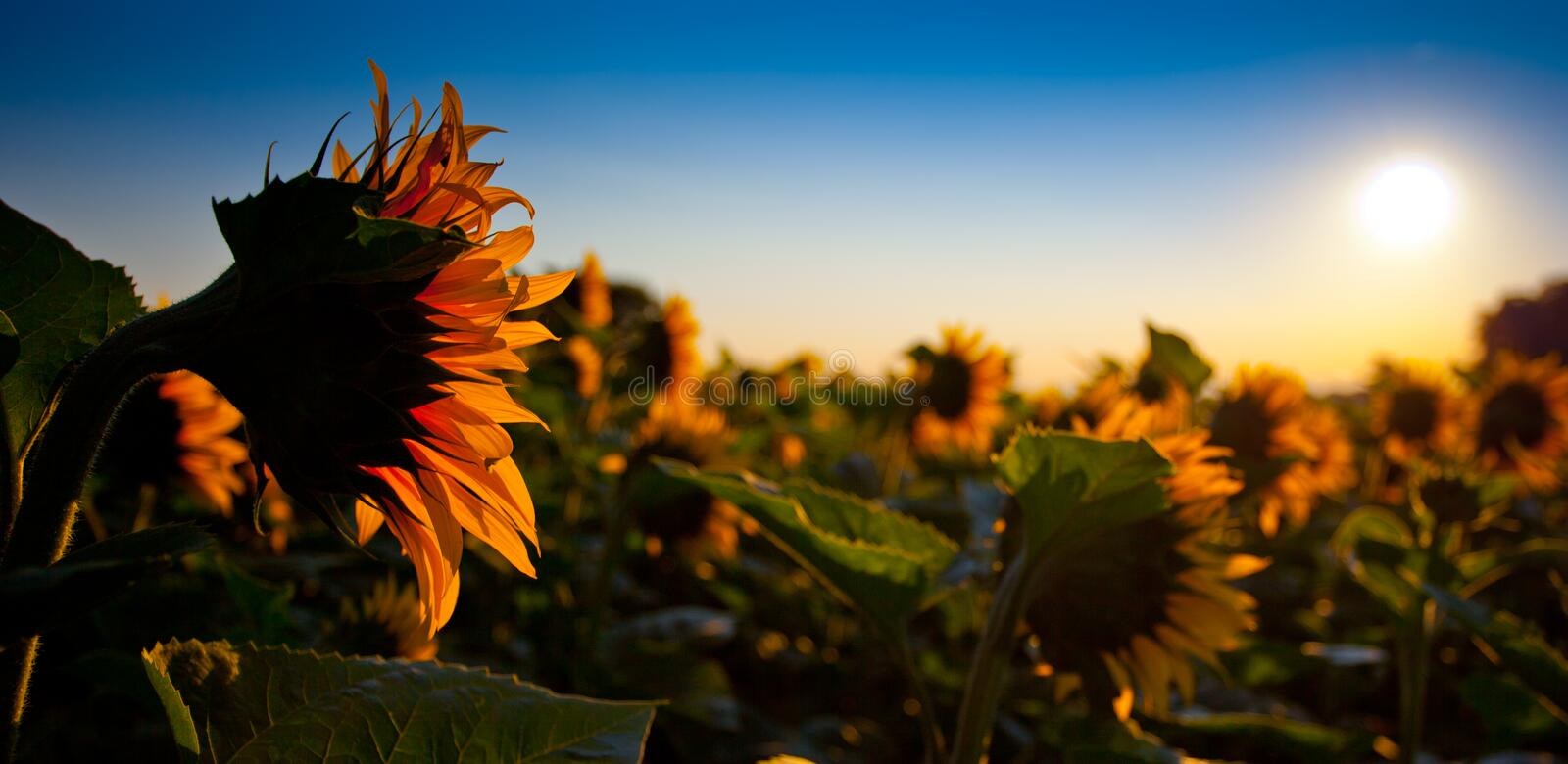 Sunflower and Sunrise royalty free stock photos