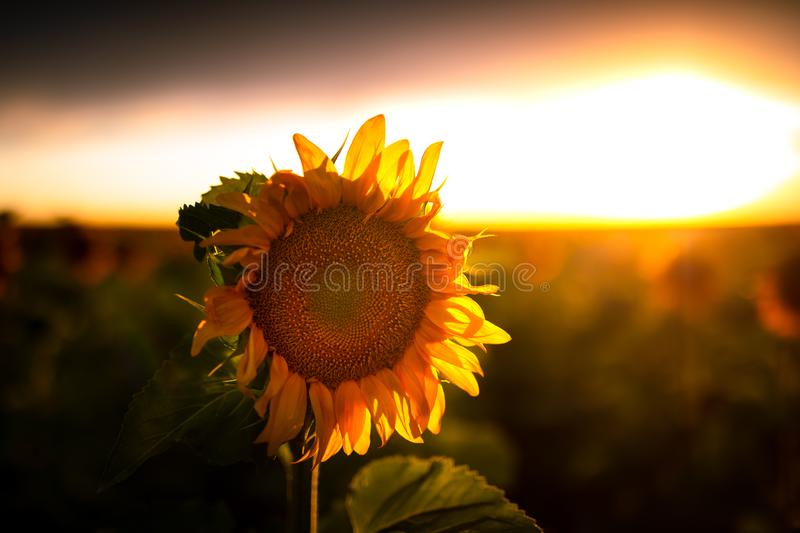 Sunflower at Sunset in a Field. Sunflower field at sunset. They are bright, yellow and a lot are visible in the field. The sun is setting in the distance stock images