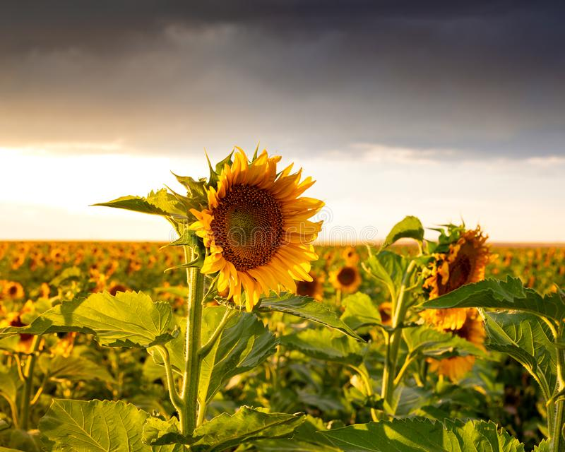Sunflower at Sunset in a Field. Sunflower field at sunset. They are bright, yellow and a lot are visible in the field. The sun is setting in the distance royalty free stock photography