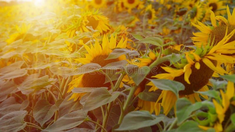 Sunflower  at sunset. Filtered Instagram effect. Sunflower field at sunset. Filtered Instagram effect stock image