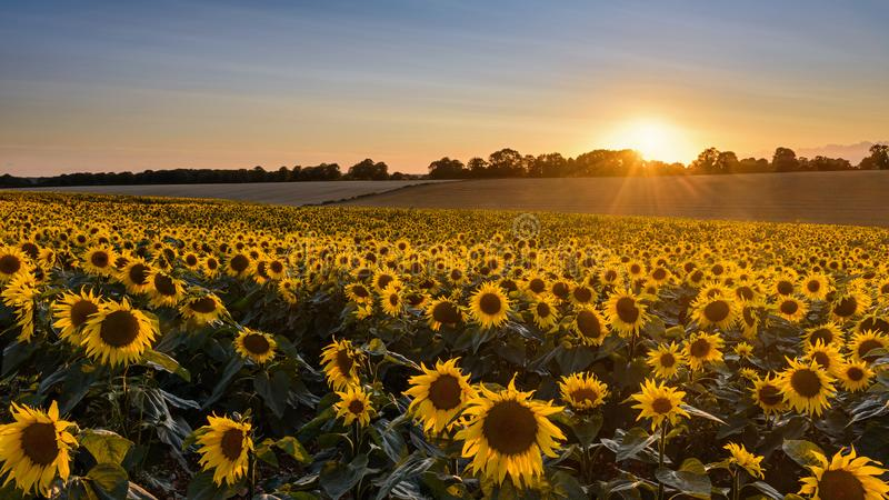 Sunflower sunset landscape with setting sun. Looking across a field of sunflowers at sunset as the sun slowing disappears behind some distant trees royalty free stock images
