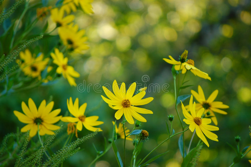 sunflower swamp στοκ εικόνα με δικαίωμα ελεύθερης χρήσης