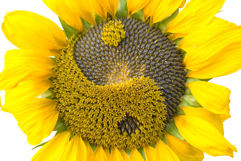 Sunflower with the symbol yin-yang royalty free stock image
