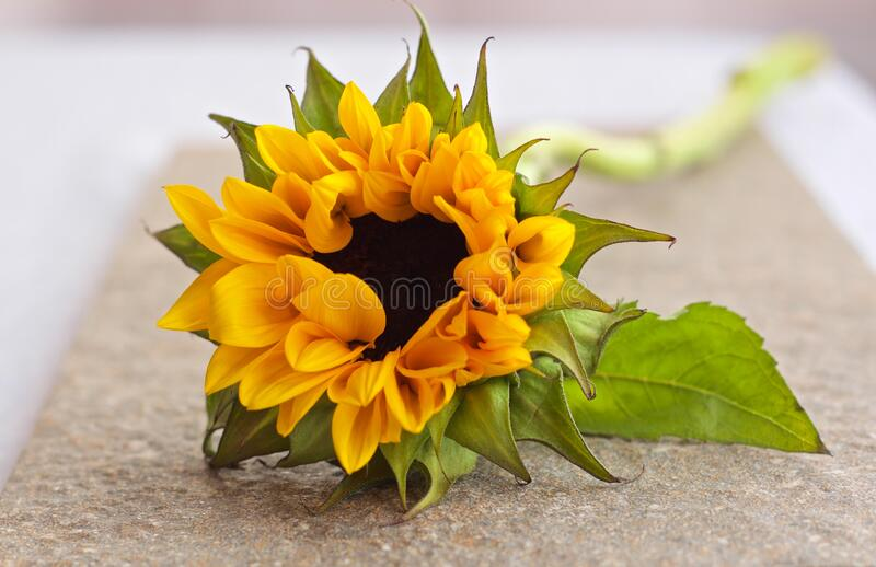 Sunflower On The Table Free Public Domain Cc0 Image