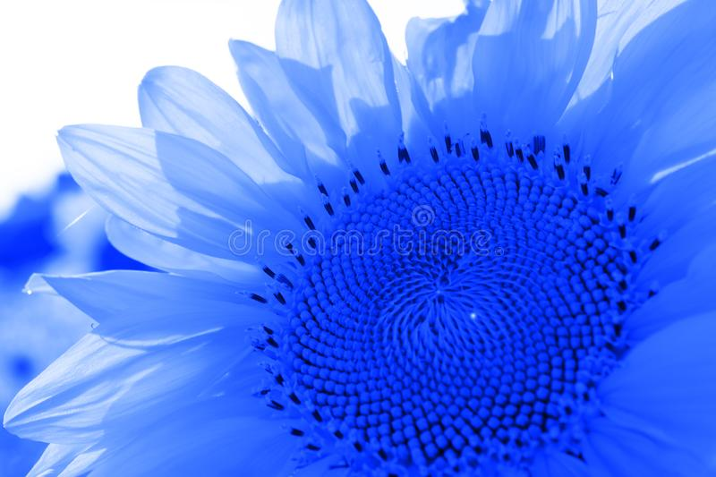 Sunflower toned with blue color. Sunflower toned with blue classic color royalty free stock photography