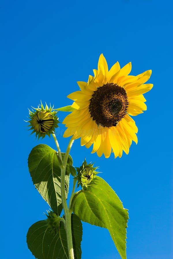 Sunflower Under Blue Sky During Daytime Free Public Domain Cc0 Image