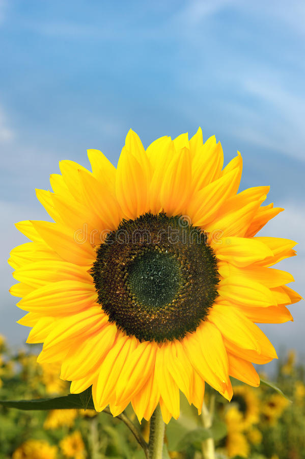 Download Sunflower stock photo. Image of colorful, under, yellow - 96920086
