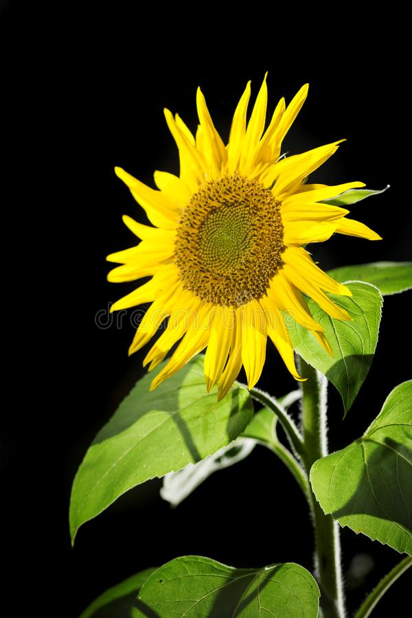 Sunflower upper part on black. Upper part with stems of a sunflower lat: Helianthus annuus in the sidelight on black background stock image