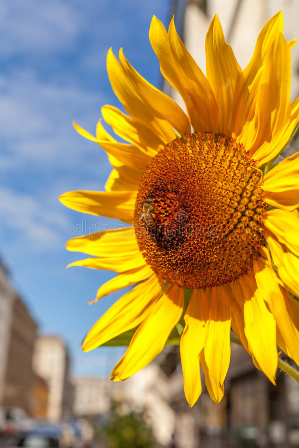 Sunflower on an urban street. Bright sunflower head on a city street in Berlin Germany stock photography
