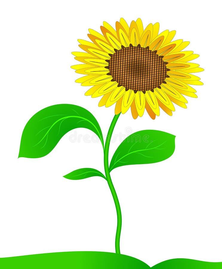 Sunflower. Vector. stock vector. Illustration of autumn ...