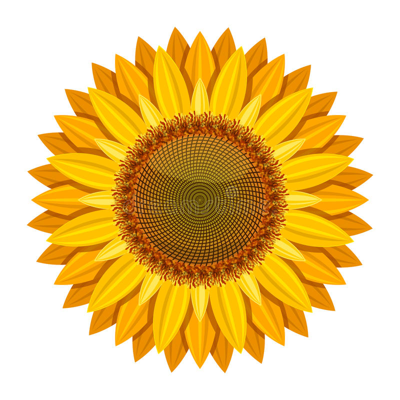 Sunflower vector on white background. Yellow sun flower vector illustration