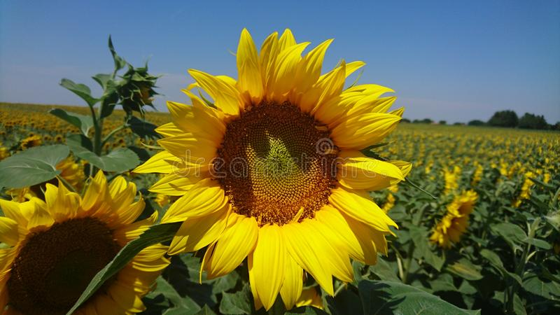 Sunflower in Vojvodina royalty free stock images