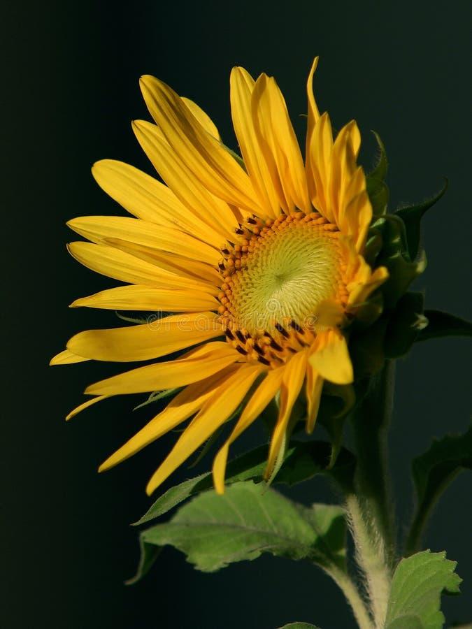 Sunflower wallpaper. Wallpaper of a sunflower shining under the sunset royalty free stock photos