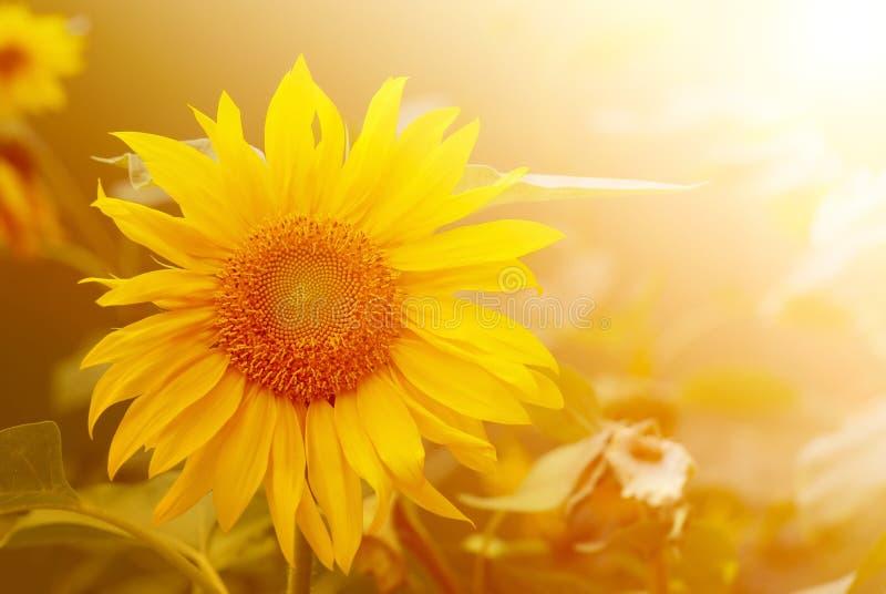 Sunflower in warm sunlight. Sunflower closeup in warm sunlight stock photos