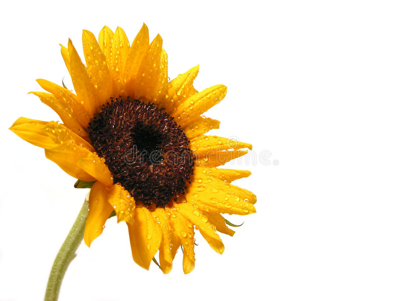 Download Sunflower on white stock photo. Image of droplet, drop - 442038
