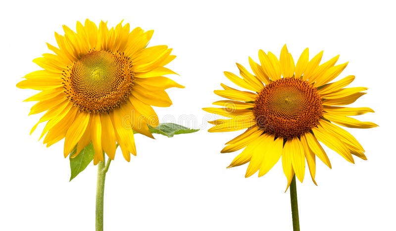 Download Sunflower In A White Background Stock Image - Image: 32578697