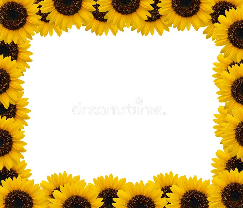 Sunflower on white background royalty free stock images