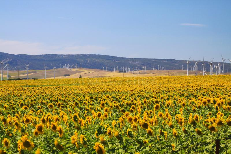 Sunflower and wind turbine field under blue sky in Andalusia near small village Sahara delos Atunes, Spain royalty free stock photography
