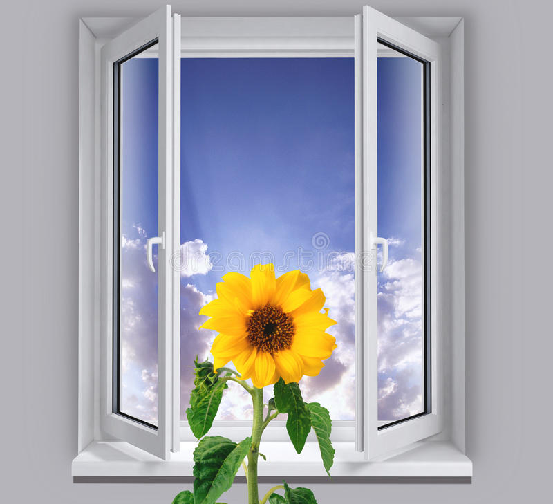 Sunflower in the window stock image