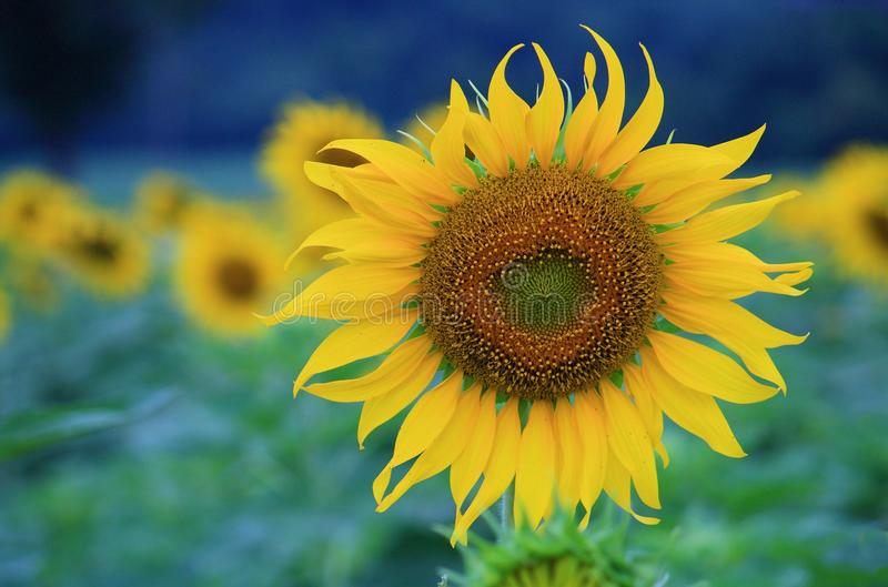 Sunflower. Winter seasons on Nov- Feb in Thailand. Most favorite flower field they have to go to visit Sunflower stock images