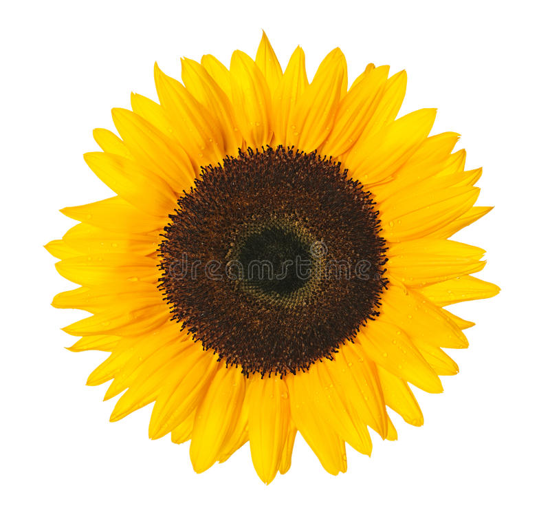 Free Sunflower With Clipping Path Royalty Free Stock Images - 32551169