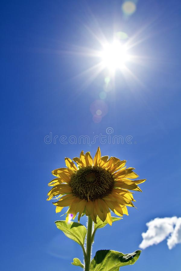 Free Sunflower With Sun Stock Images - 26044364