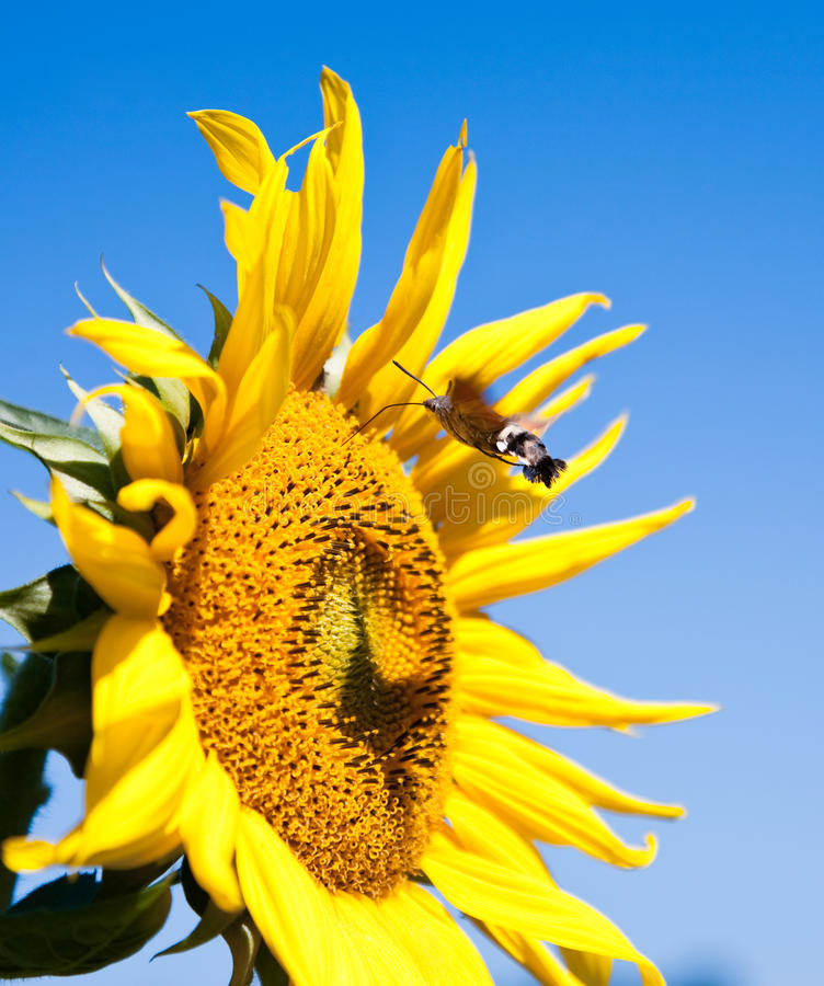 Download Sunflower With Working Bee Royalty Free Stock Photos - Image: 16242938