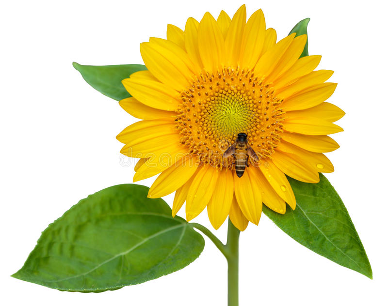 Sunflower and working bee isolated on white background royalty free stock image