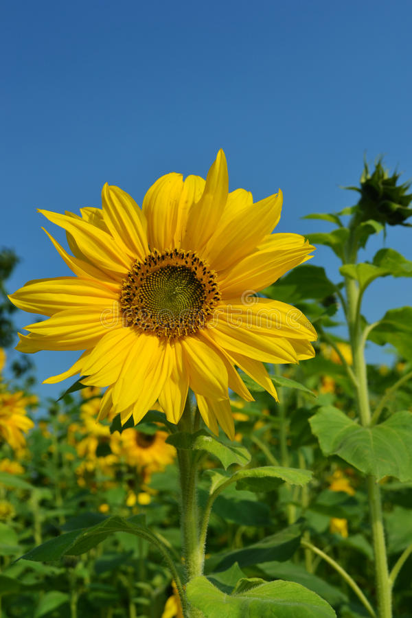Sunflower yellow blue green royalty free stock photo