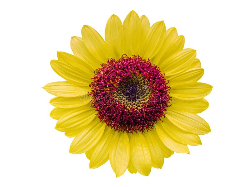 Sunflower yellow flowers on white background. clipping path stock image