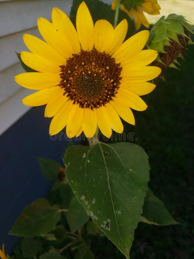 Sunflower. Yellow, summer, beautifully, garden royalty free stock photography