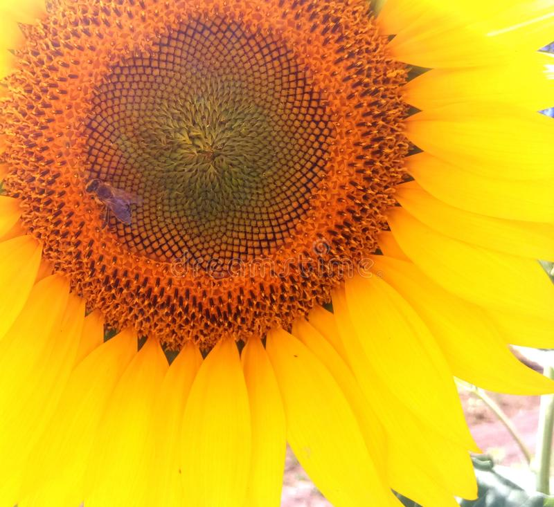 Sunflower with yellow tender petals. And little bee that collects pollen on this enormous flower stock photo