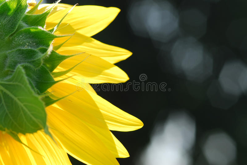 Sunflower young bud blooming, macro, close up royalty free stock photography