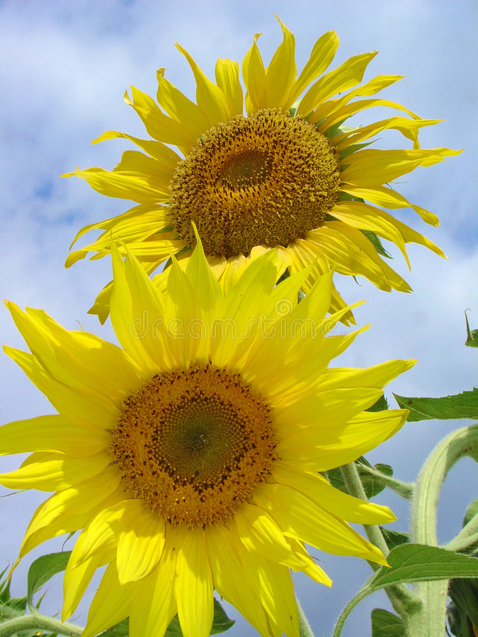 Download Sunflowers 1 stock image. Image of leaves, light, yellow - 1033261