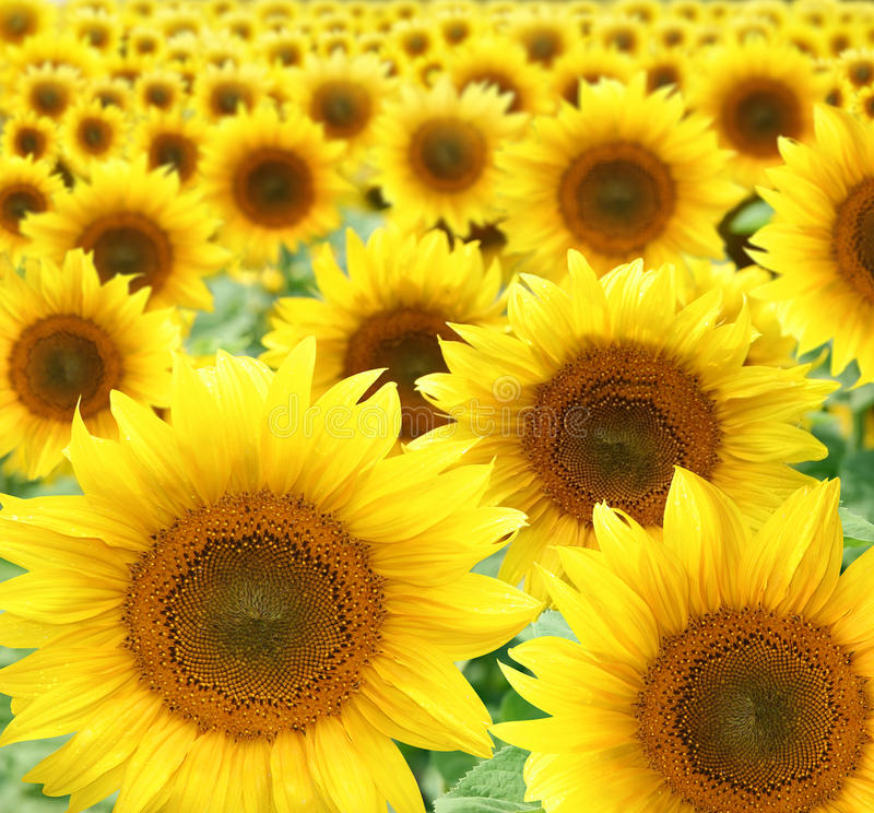 Free Sunflowers Royalty Free Stock Photo - 10069505