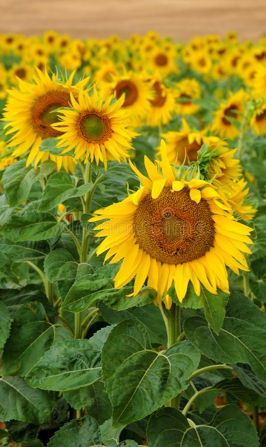 Free Sunflowers Royalty Free Stock Photography - 103217477