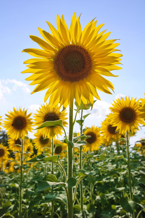 Free Sunflowers Royalty Free Stock Images - 12373349