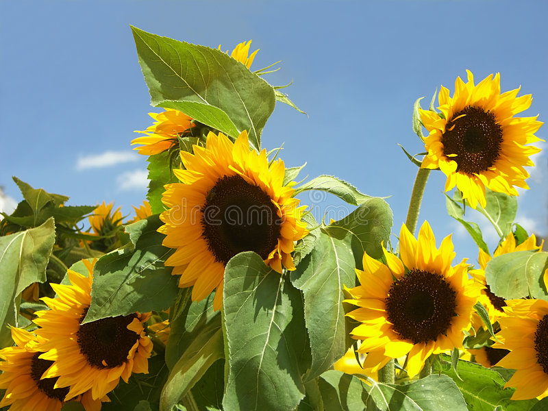 Download Sunflowers stock image. Image of side, beauty, stem, flowers - 150171