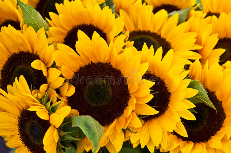 Download Sunflowers Royalty Free Stock Image - Image: 16809276